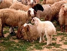 Pesach Korban Lamb