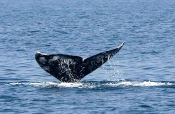 Gray Whale Israel 001