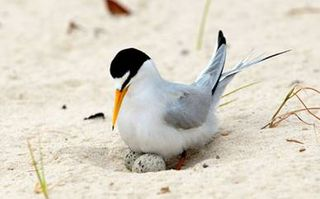 Nesting Least Tern Mouth Mississippi