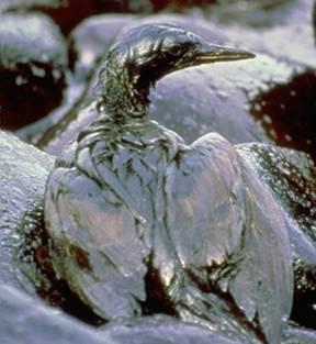 Gulf Toxic Oil Waterfowl