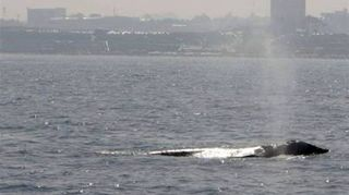 Gray Whale Israel 003