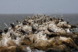 Colonies Brown Pelicans Gulf Mexico