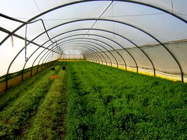 Gush Katif's leafy vegetable Nursery